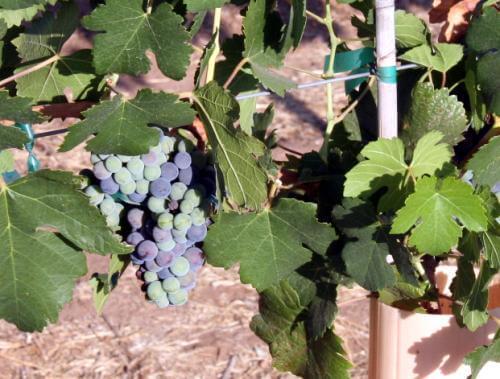 Vineyard stats