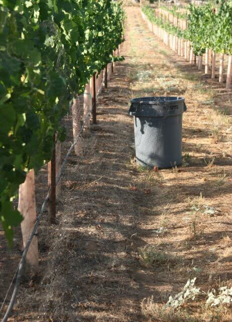 Not all wine & roses in the vineyard